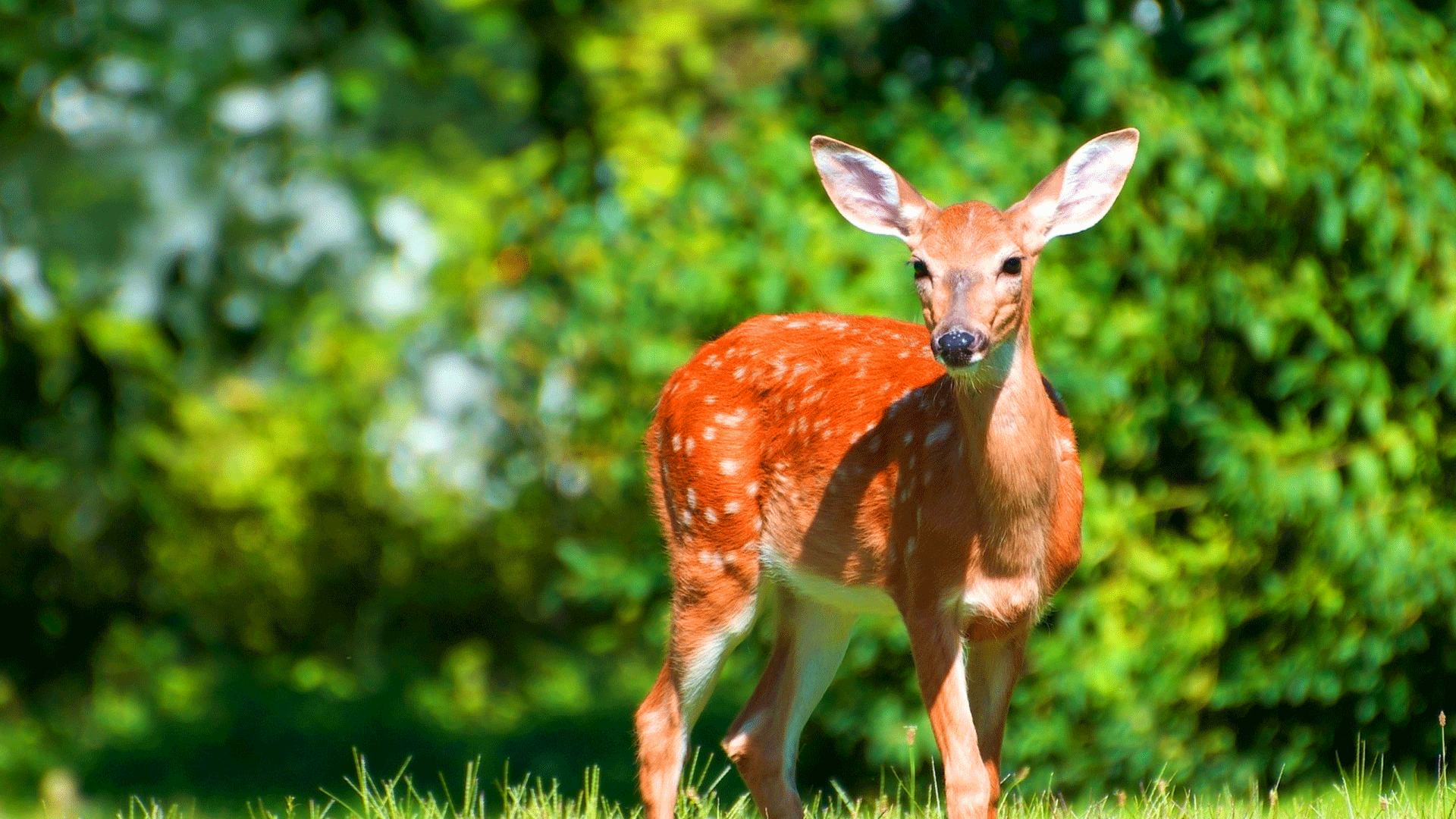 deer-hd-nature-images