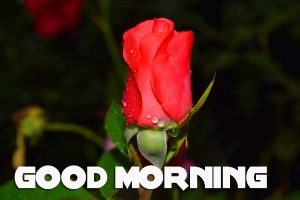 Red Rose Good Morning Images  Photo Wallpaper Pics Download for Lover Couple