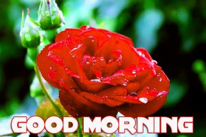 Red Rose Romantic Good Morning Wishes Images Photo Pics Free Download
