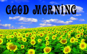 Sunflower Good Morning Wishes Images Wallpaper for Whatsapp & Facebook