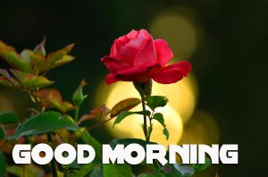 Red Rose Good Morning Images  Pictures Wallpaper Download