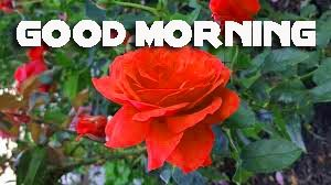 Red Rose Romantic Good Morning Images Photo Pics Free Download