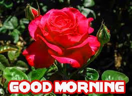 Red Rose Romantic Good Morning Wishes Images Pics free Download