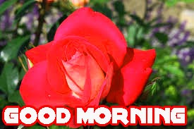 Red Rose Romantic Good Morning Wishes Images Photo Pics HD Download