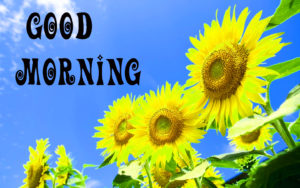 Sunflower Good Morning Wishes Images Wallpaper Download