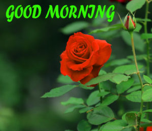 Beautiful Flower Good Morning Wishes Images Wallpaper for Whatsapp